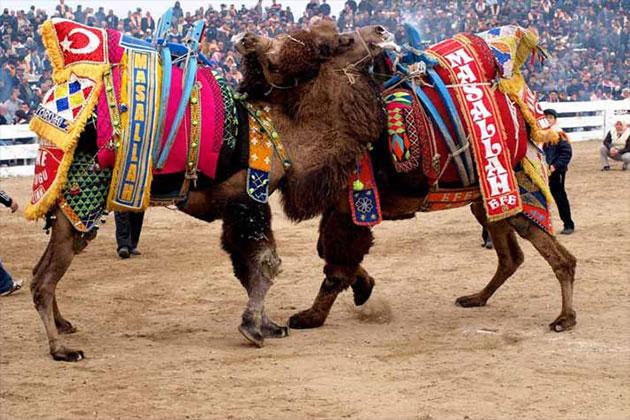 Camel Wrestling,Camel Wrestling Turkey,Camel Wrestling 2019 Schedule,Camel Wrestling 2019,Wrestling News India